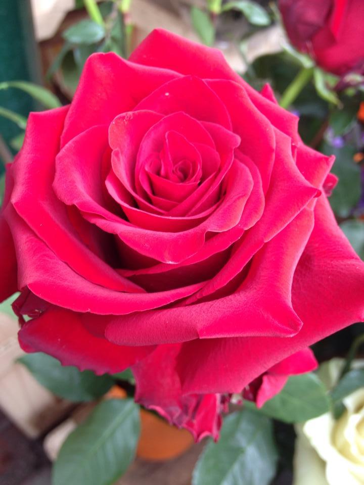 Conta i fiori del tuo giardino a flower over the world for Rose color rosa antico
